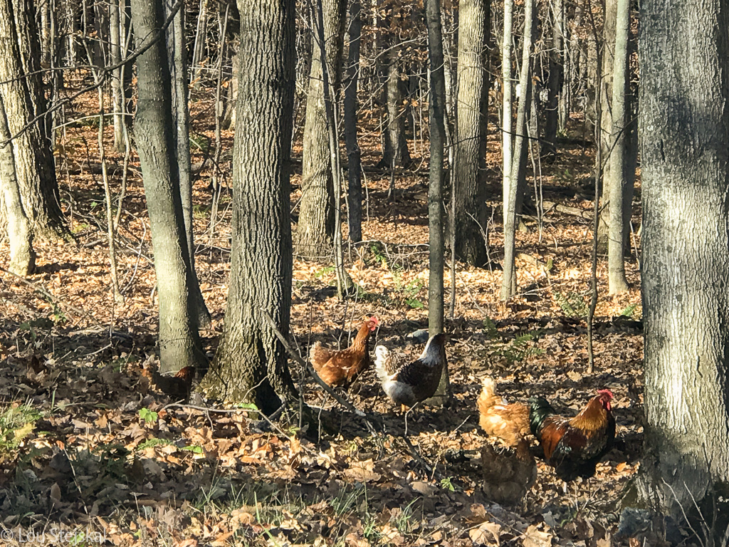 Chickens spotted on the road leaving Manoir Hovey
