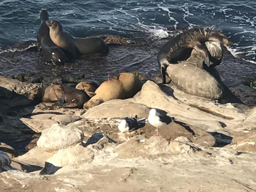 Sea lions at La Jolla Cove